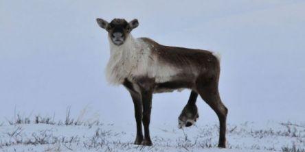 Fotråte herjer i norske villreinbestander