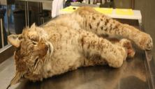 Undersøkte 202 døde rovdyr