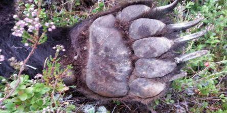 Lisensfellingen av bjørn blir begrenset i år