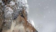 Har registrert 103-106 ulver i Norge i vinter