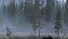 Flere bjørner, men færre binner påvist i Norge