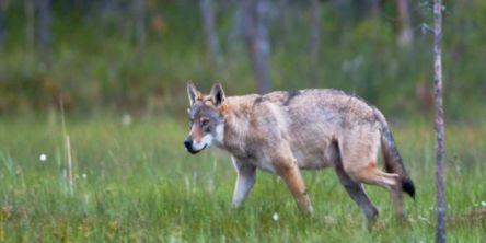 Ulvebestanden i Skandinavia går fortsatt ned