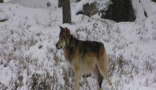 Ulvehann flyttet med valper til ny tispe
