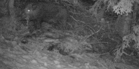 Ny jakt på villsvin i Trøndelag