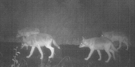 Færre ulver og ulvekull i Norge