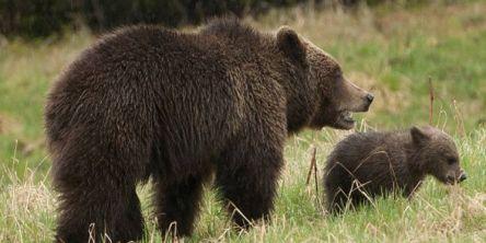Nedgang i antall registrerte bjørner