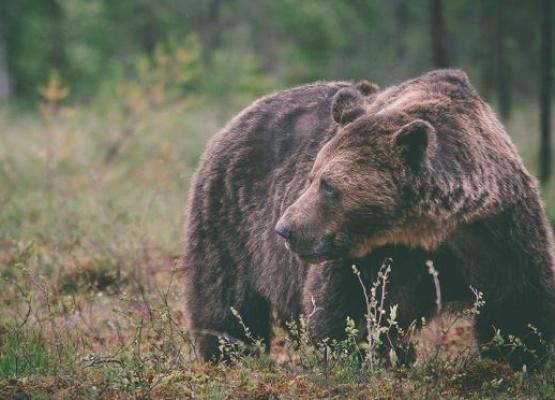 Bjørner med østlig opphav påvist i Sverige for første gang